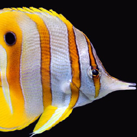 Chelmon rostratus Image