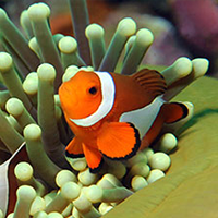 Amphiprion ocellaris Image