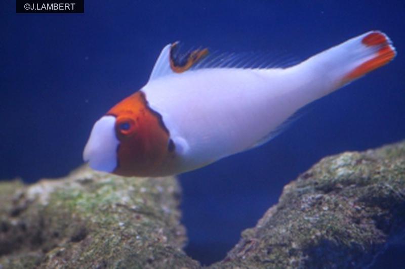 Cetoscarus bicolor Image