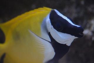 Siganus vulpinus Image